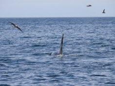 Orca, Bobrof Island
