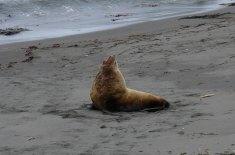 Steller Sea Lion, Kasatochi Volcano