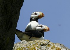 Horned Puffins, Amagat Island