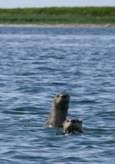 Sea Otters, Simeonof Island