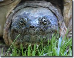 Snapping turtle in the back yard